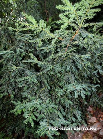 Чем полезна елка