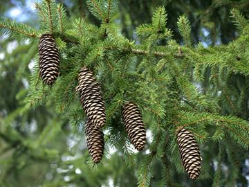 Как вырастить елку дома
