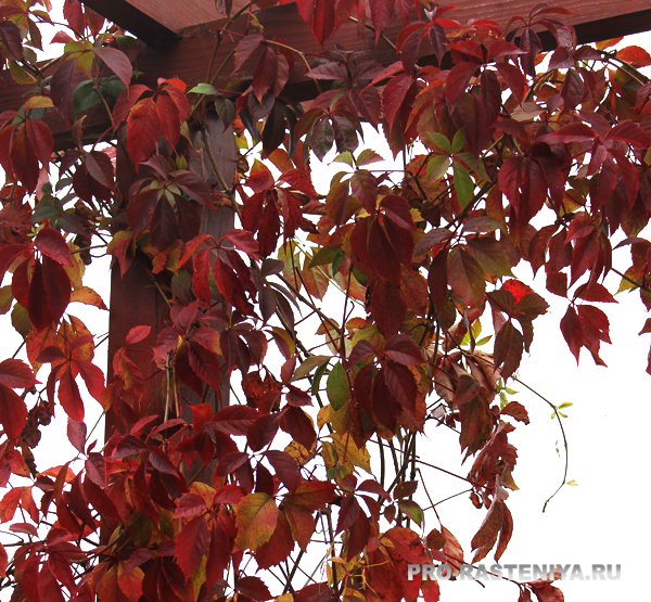 Девичий виноград: посадка, уход, размножение