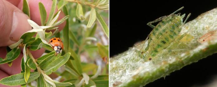 Зеленая облепиховая тля