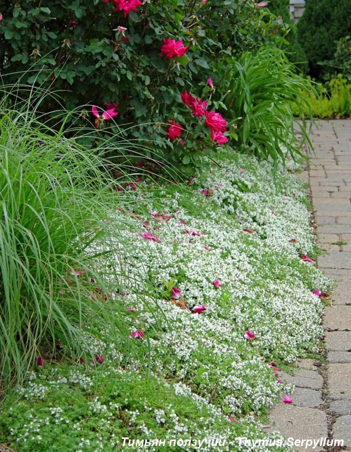 Чабрец в саду - тимьян ползучий