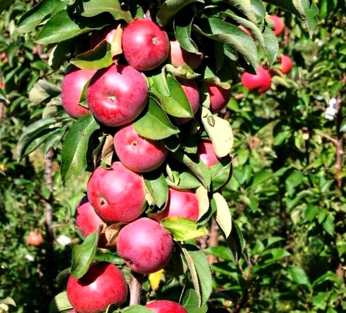 Посадка коллоновидных яблонь