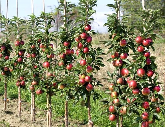 Как ухаживать за коллоновидными яблонями