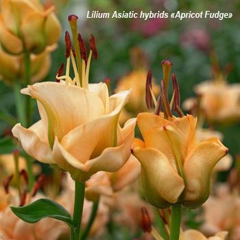 Лилия азиатская «Apricot Fudge»