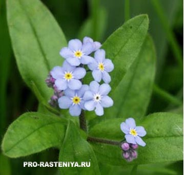 Незабудка - двулетние цветы