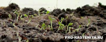 Колокольчик средний, выращивание из семян