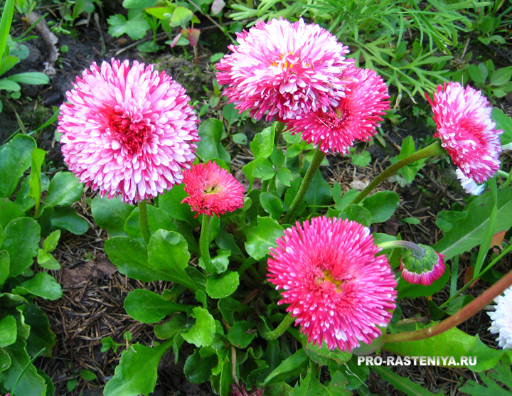 Маргаритки: выращивание из семян, посадка, уход, размножение