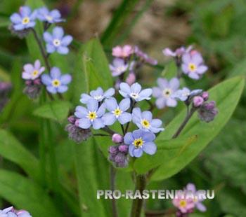 http://www.pro-rasteniya.ru/images/cvetnik/dvyletnie/nezabudka_sadovaya.jpg
