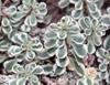 Виды очитков: почвопокровные