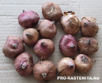 Когда посадить гладиолусы