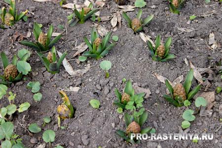 Выращивание гиацинтов, посадка и уход