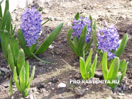 Гиацинт: посадка, уход, выращивание
