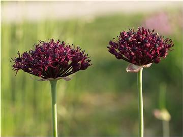 Декоративный лук темно-пурпуровый