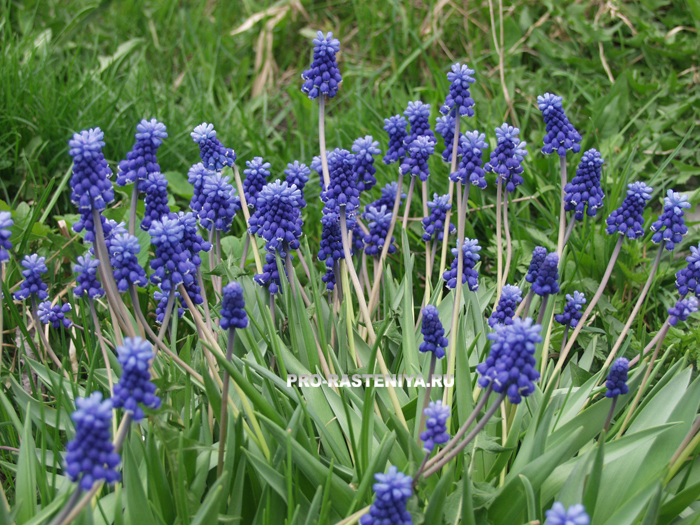 Цветы мускари