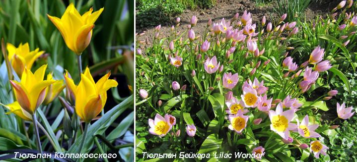 Ботанические тюльпаны