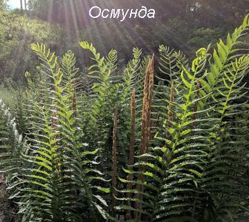Виды папоротника - Осмунда