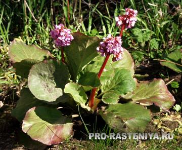 Бадан - растение семейства Камнеломковые