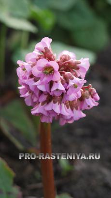 Бадан: выращивание, размножение
