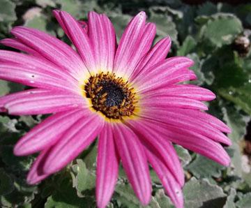 Арктотис - выращивание из семян