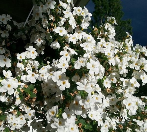 Бакопа - выращивание из семян