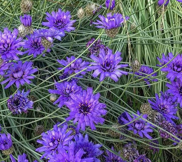 Катананхе - выращивание из семян
