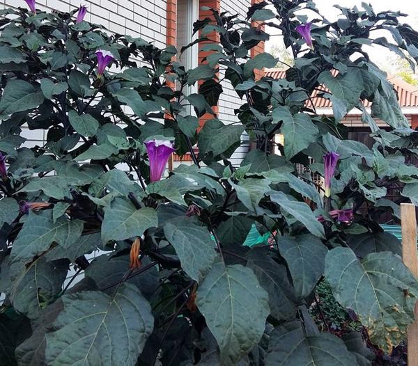 Выращивание датуры из семян