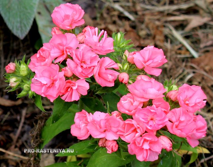 Флокс Шанель -  выращивание из семян