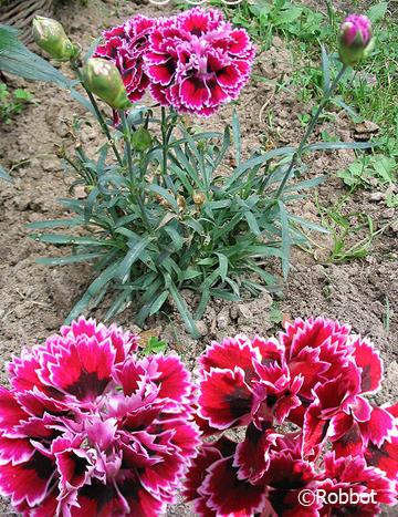 Гвоздика Шабо: выращивание из семян, размножение черенками, уход, сорта - Сайт о растениях