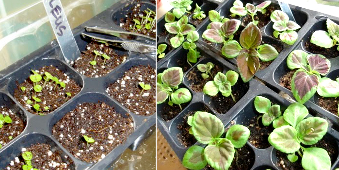 Выращивание колеуса из семян