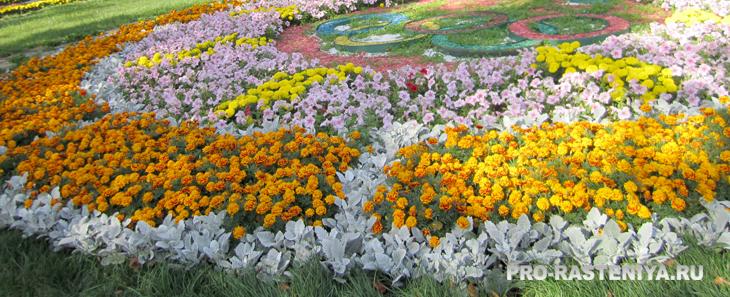 бархатцы в летнем цветнике