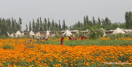 Поля с бархатцами в Китае