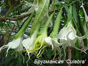Бругмансия: сорт Culebra