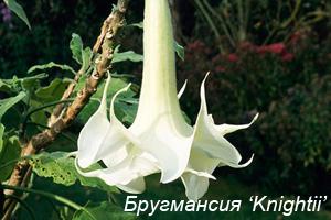 Бругмансия Knightii