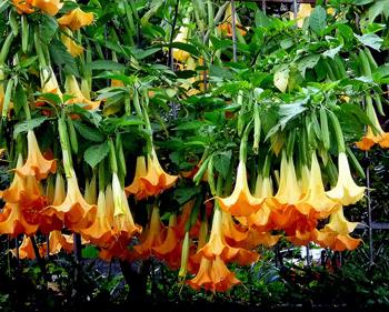 Бругмансия: выращивание