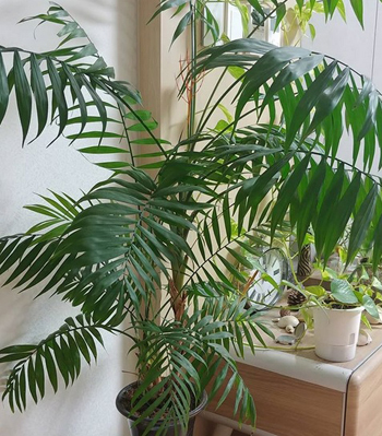 Хамедорея - изящная пальма