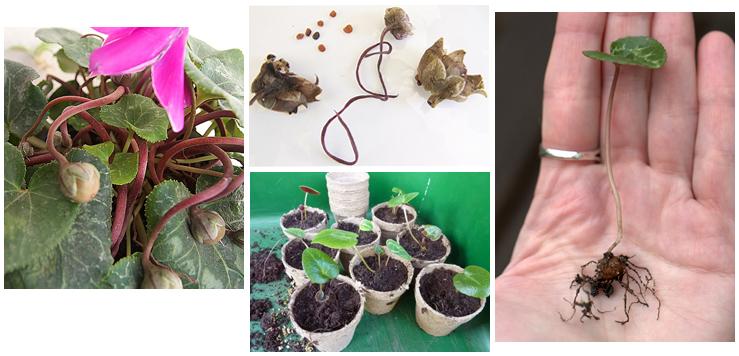 Как вырастить цикламен из семян, размножение цикламена