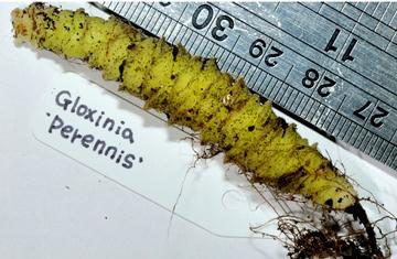 Корневище глоксинии perennis