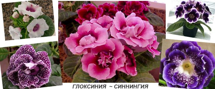 Глокисния красивая - синнигия speciosa - сорта