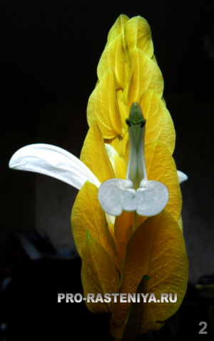 Пахистахис: цветок