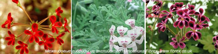 Пеларгония виды и сорта фото