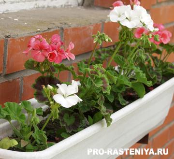 Пеларгония, выращивание из семян в домашних условиях