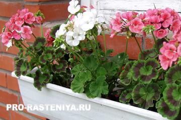 Полив цветов фитоспорином