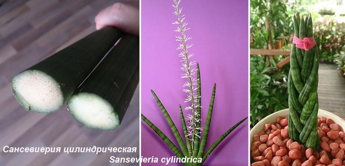 Сансевиерия цилиндрическая