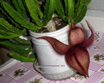 Цветение стапелии в домашних условиях