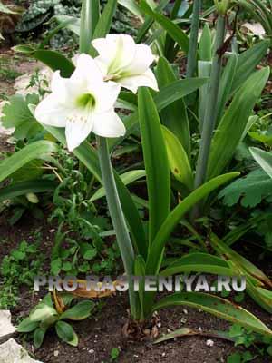выращивание амарилиса