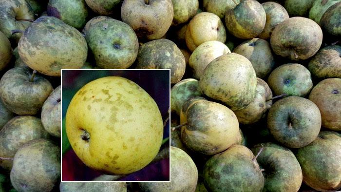 Сажистые грибы на яблоне