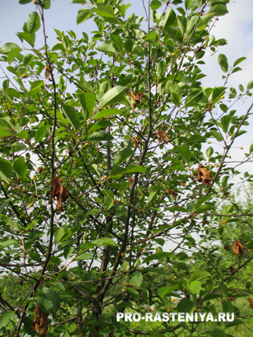 Почему на вишне засыхают листья