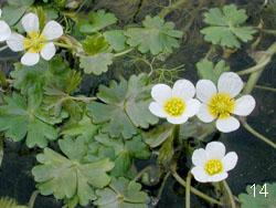 Погружные водные растения - лютик