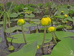 Плавающие водные растения - кубышка желтая