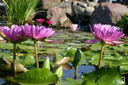 Плавающие водные растения - тропические кувшинки
